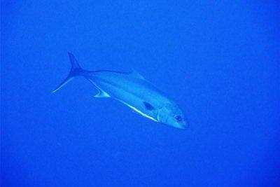 Seriola dumerili bild Große Bernsteinmakrele knochenfische Osteichthyes arten atlantik kanaren kanarische inseln mittelmeer rotes meer