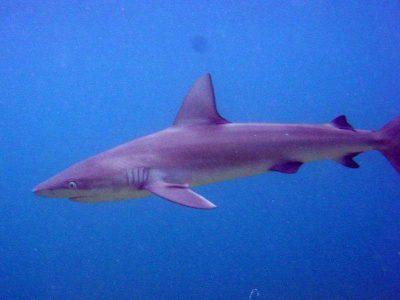 Carcharhinus galapagensis haie kanaren kanarische inseln hai arten angriff angriffe gibt es