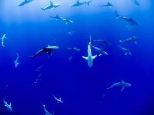 Haie der Kanaren Haiarten tauchen Kanarische Inseln Atlantik Fuerteventura Lanzarote Gran Canaria Hai Teneriffa La Palma La Gomera El Hierro