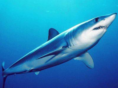 Isurus oxyrinchus Kurzflossen-Mako hai kanaren haie kanarische inseln tauchen atlantik