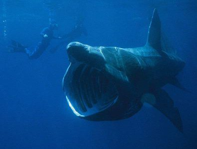 Riesenhai Cetorhinus maximus arten hai haie kanaren kanarische inseln tauchen angriff