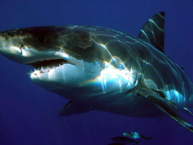 Weißer Hai der weiße hai Carcharodon carcharias kanaren haie kanarische inseln tauchen arten lanzarote fuerteventura teneriffa lanzarote angriff