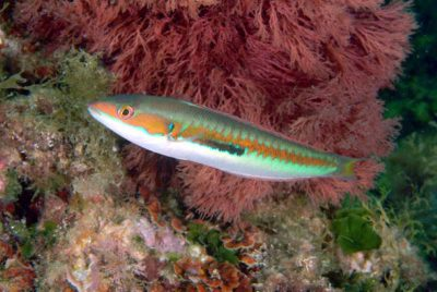 Coris Julis Meerjunker männchen male fische kanaren atlantik mittelmeer tauchen kanarische inseln lippfische arten labridae