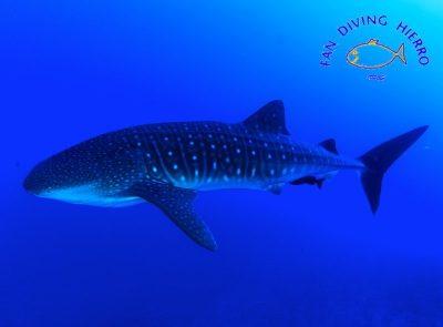Walhai Rhincodon typus Arten haie kanaren fisch fische tauchen kanarische inseln atlantik ozean merkmale fan diving el hierro