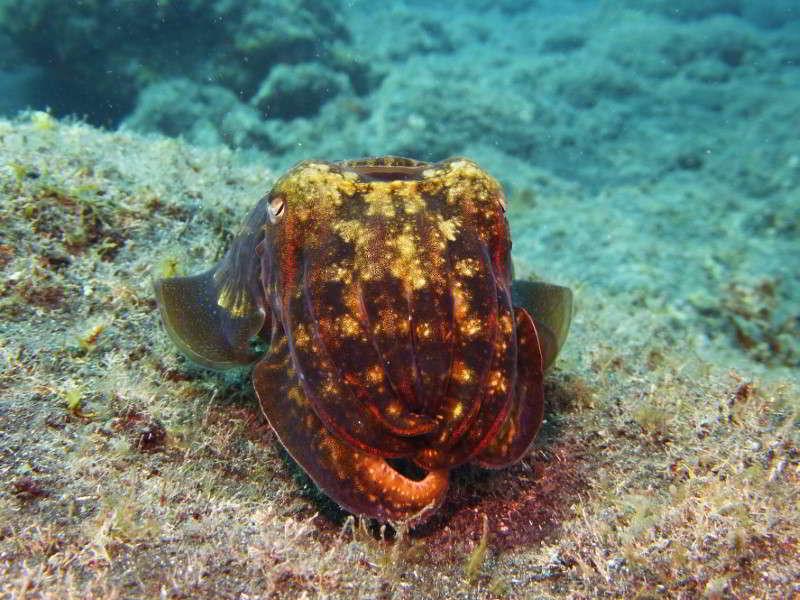 Gran Canaria tauchen kanarische inseln kanaren atlantik atlantischer ozean gewöhnlicher tintenfisch sepia officinalis Miniaturkontinent