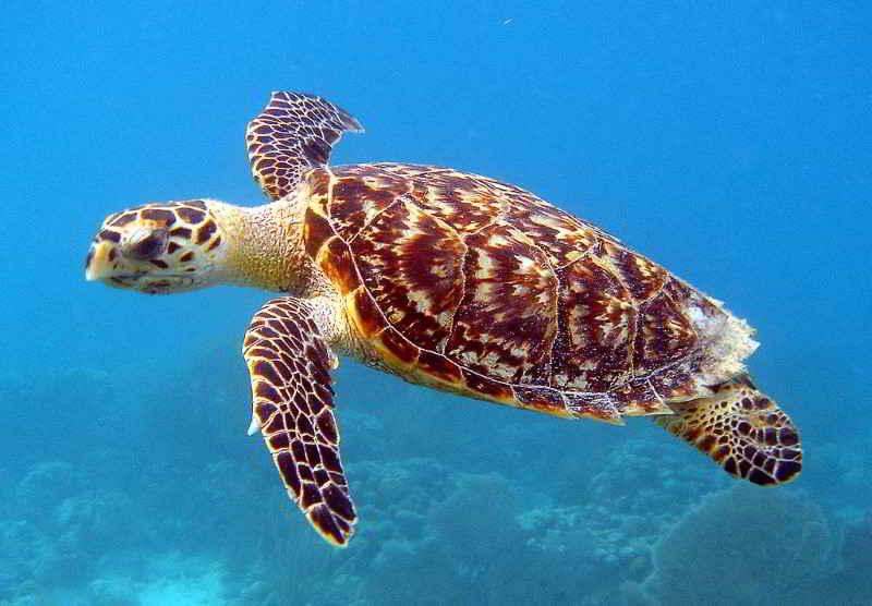 Echte Karettschildkröte Eretmochelys imbricata tauchen Kanaren Schildkröten Kanarische Inseln Atlantik Ozean Fische Arten Fischlexikon