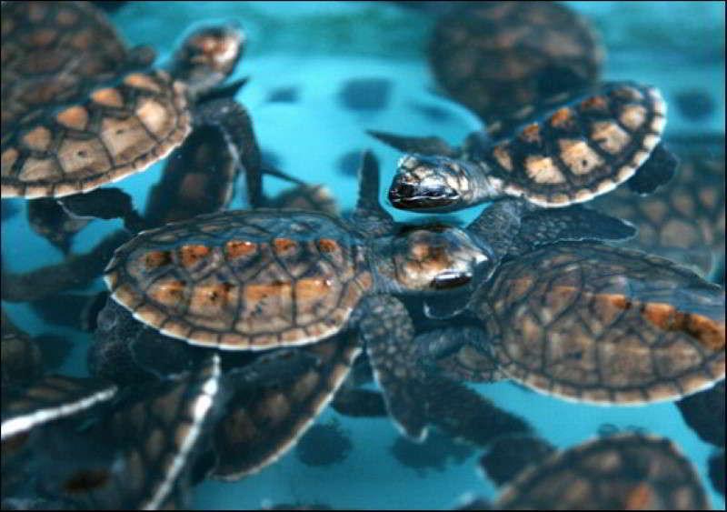 Echte Karettschildkröte babys Eretmochelys imbricata tauchen Kanaren Schildkröten Kanarische Inseln Atlantik Ozean