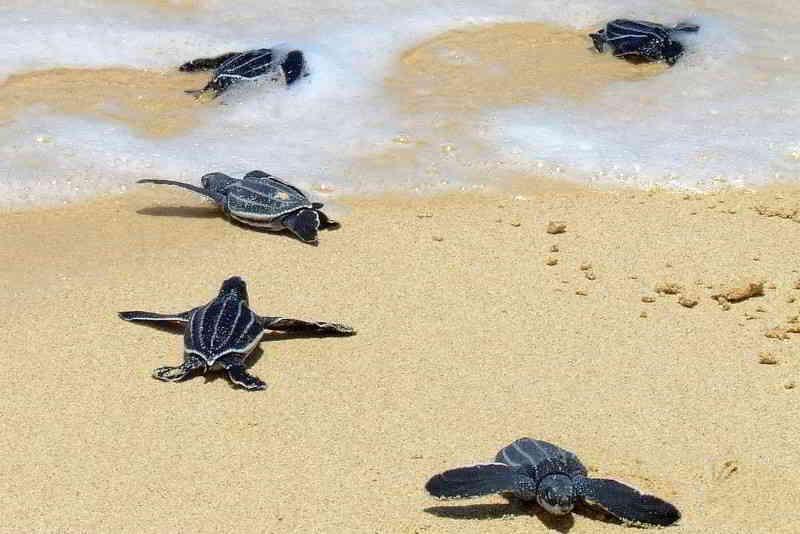 Lederschildkröte Dermochelys coriacea tauchen kanaren kanarische inseln atlantik Ozean Mittelmeer babys